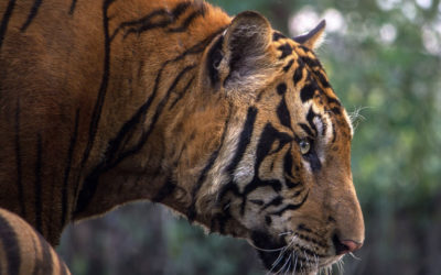 Nepal – The first country to double tigers!